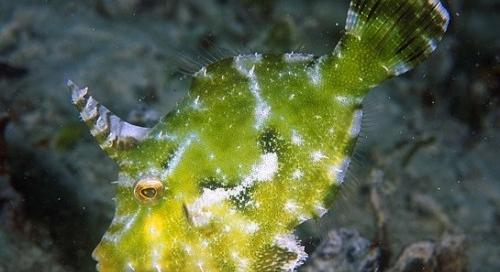 Bluereefaquatics blue reef aquatics tropical fish for Aiptasia eating fish